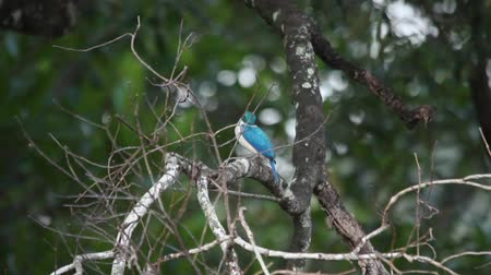 white collared kingfisher : Collared Kingfisher Flying Away Collared Kingfisher (Todiramphus chloris) sitting on a branch and looking around hunting and flying off with jungle trees in the background. Khao Sok, Thailand Stock Footage