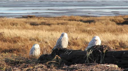 teljes : 3 Snowy Owls napping in the sun Snowy Owl (Bubo scandiacus) monitoring a hunting ground while taking naps with mudflats in the background. Vancouver, Canada