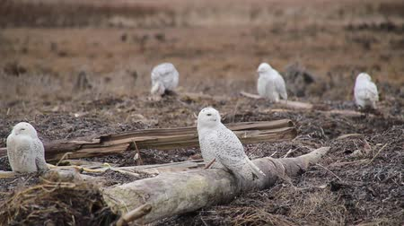 teljes : Large Number of Snowy Owls Grooming 5 Snowy Owls (Bubo scandiacus) look around and turn their neck while grooming and stretching their wings on tree logs in the wild. Vancouver, Canada