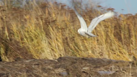 teljes : Snowy Owl taking off and flying away Snowy Owl (Bubo scandiacus) taking off a large tree log and flying away in mudflats with mountains in the background. Vancouver, Canada
