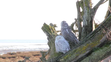 teljes : Old & Young Snowy Owl Pair A pair of Snowy Owl (Bubo scandiacus) standing on the dead roots of a tree turning their head around with ocean and mud flats in the background in the sunshine. Vancouver, Canada