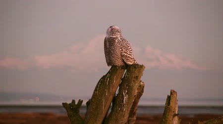 teljes : Snowy Owl on mountain background Snowy Owl (Bubo scandiacus) perched on a dead tree and looking around at dawn with mountains in snow in the background. Vancouver, Canada Stock mozgókép
