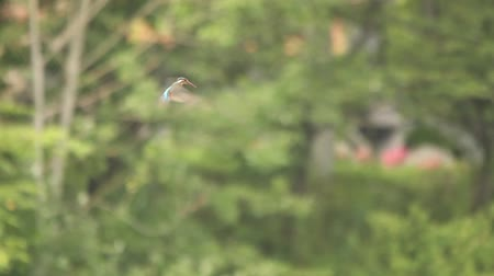 nó : Common Kingfisher hovering and hunting Common Kingfisher (Alcedo atthis) over-hunt and fly in a stationary manner above hunting ground on green leaves background. Busan, South Korea Vídeos