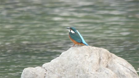 tyrkysový : Eurasian Kingfisher on river rocks Common Kingfisher (Alcedo atthis) sitting and fishing on rocks in a river with water flow in the background. Busan, South Korea