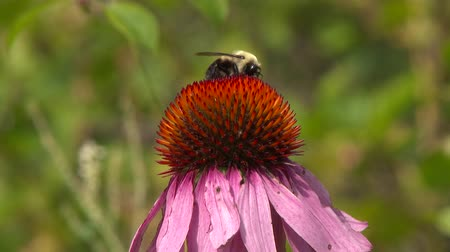 4K UHD 60fps - Bumblebee (Bombus) feeding on bright red and purple flower Stock Footage