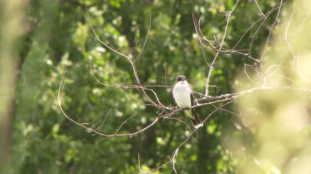 4K UHD 60fps - Eastern Kingbird (Tyrannus tyrannus) taking off from a branch on windy day Stock Footage