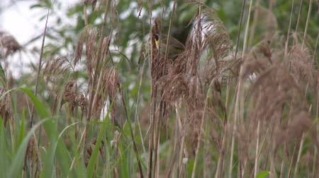 4K UHD 60fps - Common Yellowthroat (Geothlypis trichas) vocalizing on typha branches
