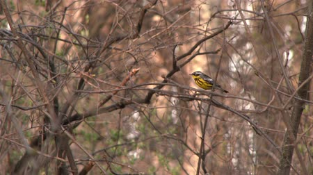 4K UHD 60fps - Magnolia Warbler (Setophaga magnolia) jumping through branches