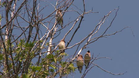 4K UHD 60fps - Group of 4 Cedar Waxwing (Bombycilla cedrorum) taking off from branches