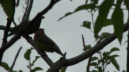 4K UHD 60fps - Adult Cedar Waxwing (Bombycilla cedrorum) attempting to feed youngster
