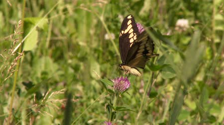 4K UHD 60fps - Butterfly Easter Black Swallowtail (Papilio polyxenes) feeding on purple flower Stock Footage