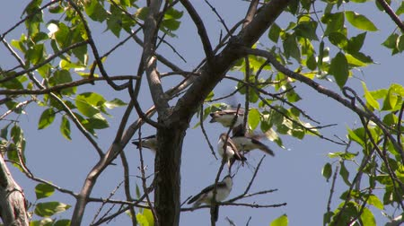 4K UHD 60fps - Tree swallow (Tachycineta bicolor) adult feeding one of three youngsters Stock Footage