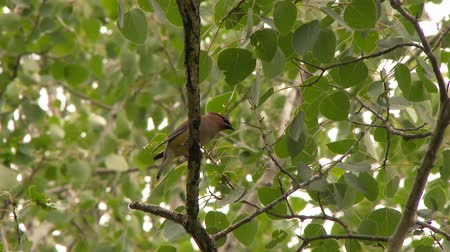 4K UHD 60fps - Cedar Waxwing (Bombycilla cedrorum) perched on high branch and looking down