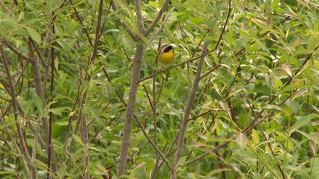 4K UHD 60fps - Common Yellowthroat (Geothlypis trichas) jumping to higher branch Stock Footage