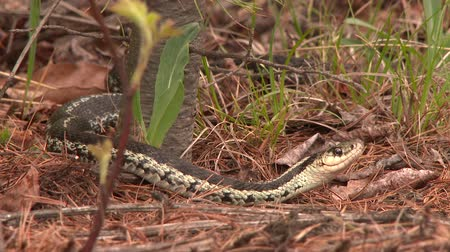 4K UHD 60fps - Common Garter Snake (Thamnophis sirtalis) moving backward through dry tree needles Stock Footage