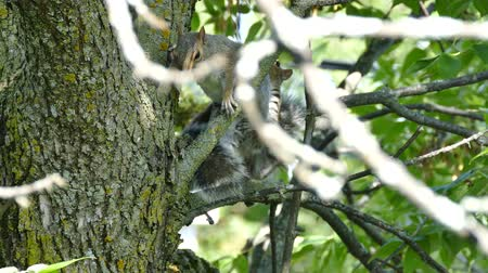 mamal : Two squirrels fighting playfully in a tree with green leaves in summer