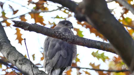 Coopers hawk (Accipiter cooperii) closeup while perched on a branch