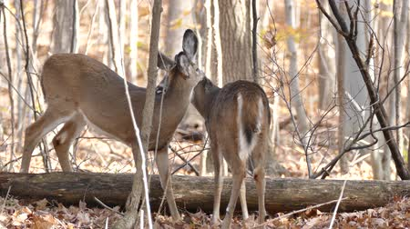 mamal : Two red deer grooming each other and licking necks in the forest in autumn