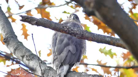 Coopers hawk (Accipiter cooperii) turning its head at 180 degree angle