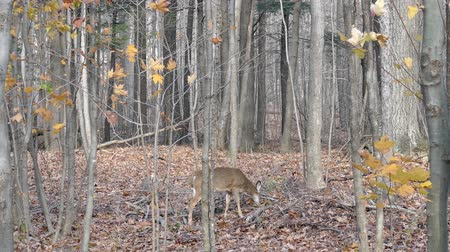 Deer munching on leaves in the forest with two blujays in the background Stock Footage