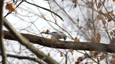 Blue Jay (Cyanocitta cristata) feeding on hairy Woolly Bear caterpillar Stock Footage