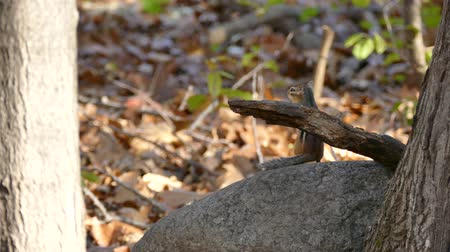 mamal : Chipmunk grooming and standing on large rock in the forest