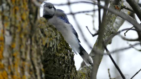 Blue Jay (Cyanocitta cristata) grooming while perched on tree trunk