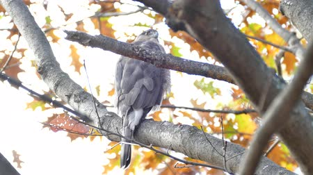 Coopers hawk (Accipiter cooperii) full body length while perched on branch Stock Footage