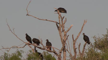 Multiple Black Vultures (Coragyps atratus) perched in dried up tree with blue sky