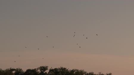 Dozen of Black Vultures (Coragyps atratus) flying in circle over jungle at dusk
