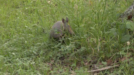 Armadillo (Dasypodidae) looking with its head up before entering tree trunk Stock Footage