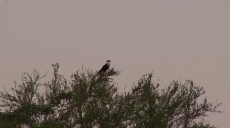 Northern Crested Caracara (Caracara Cheriway) perched atop a tree and taking flight