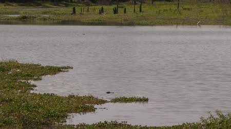 American alligator (Alligator mississippiensis) in marsh with white egrets (Ardea alba) in background Stock Footage