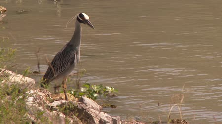 Yellow-Crowned Night Heron (Nyctanassa violacea) standing on the side of the water
