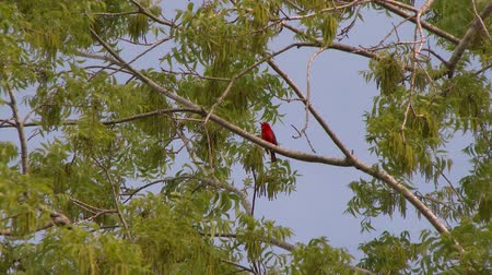 Summer Tanager (Piranga Rubra) perched in tree with green leaves and blue sky