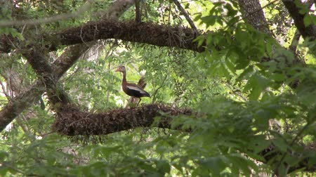 Black-Bellied Whistling Duck (Dendrocygna autumnalis) taking flight in beautiful forest