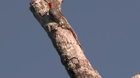 Red-Bellied Woodpecker (Melanerpes carolinus) crawling up on dead log with blue sky