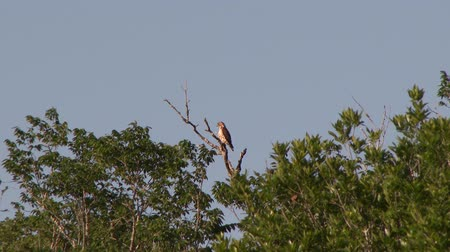 Northern Harrier (Circus cyaneus) perched on dead branch atop the jungle