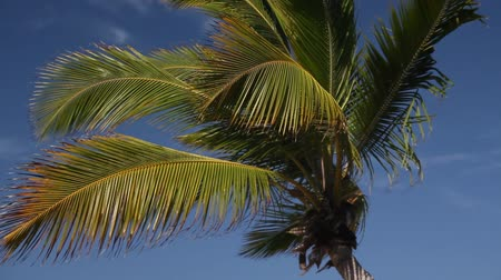 kuba : Top of coconut palm on blue sky background, footage Wideo