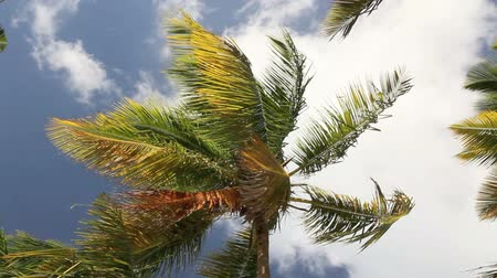 tropical : Top of coconut palm on sky background, footage