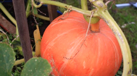 üretmek : Pumpkin in the garden, closeup