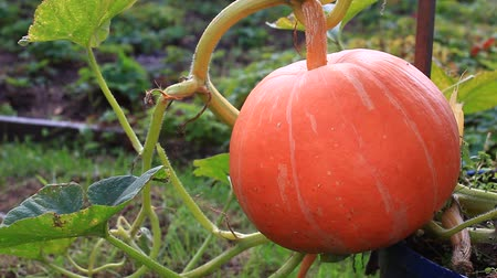 dynia : Pumpkin in the garden  Wideo