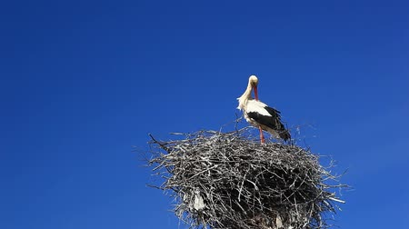 fészek : White stork on the nest
