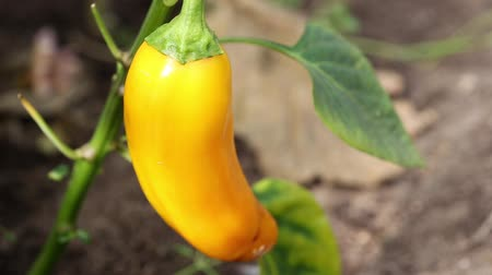 peper : Yellow pepper in hothouse, closeup footage Stock Footage