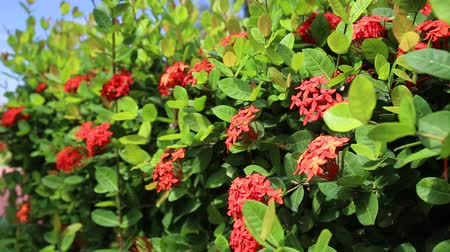 герань : Ixora tropical flowers. Closeup. Outdoors Стоковые видеозаписи
