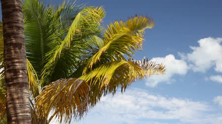 coconut palm tree : Top of coconut palm tree on blue sky background Stock Footage