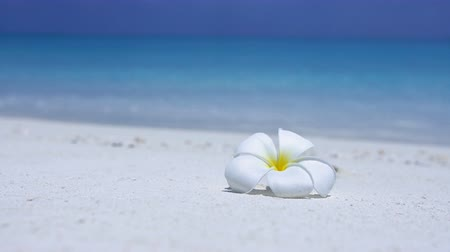 pristine : White plumeria flower on beach Stock Footage