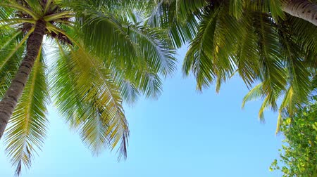 palmtree : Tropical view with top of coconut palm tree on blue sky background