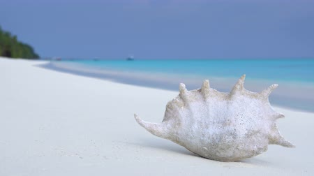 maldivler : Seashell on sandy maldivian beach, nobody