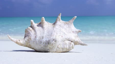 měkkýš : White seashell on sandy maldivian shore